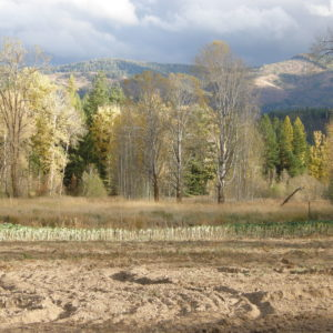 Aspen trees turned golden beyond the tilled garden.